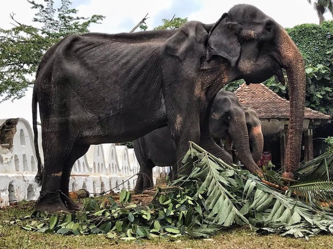Tikiiri is shackled while she walks in the parade. Picture: Save Elephant Foundation