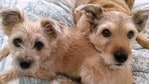 Billy and Koby belong to Jodie McKinlay. Puppy Power List. RBH